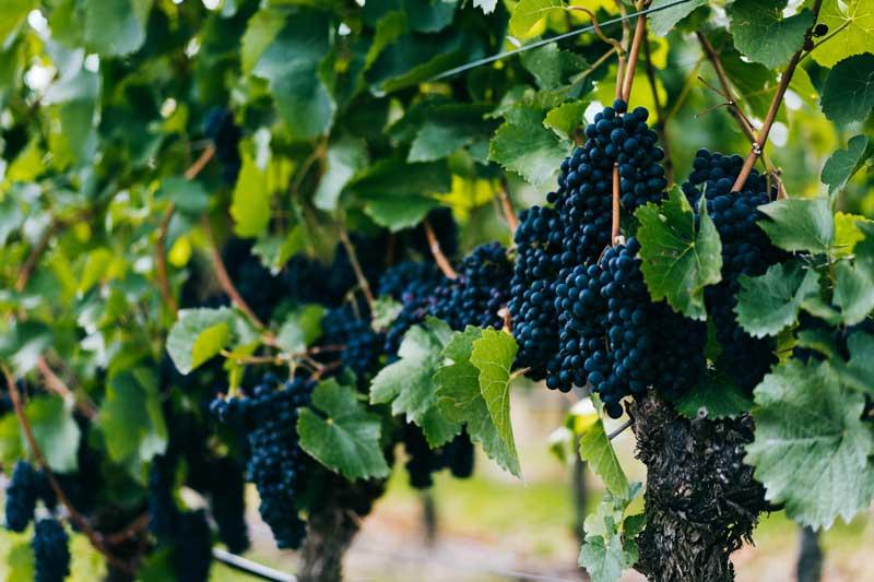 La parra de la uva